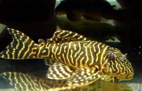 Does Scavenger Fish Eat Fish Poop What Does Scavenger Eat
